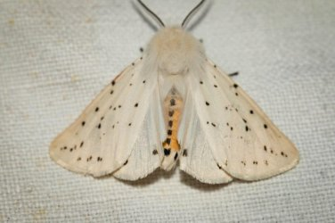 Spilosoma lubricipeda Champarnaud Claude Rochefort 17 20052016 {JPEG}