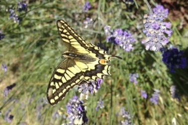 Papilio machaon Cocuau Charly Epargnes 17 16072016 {JPEG}