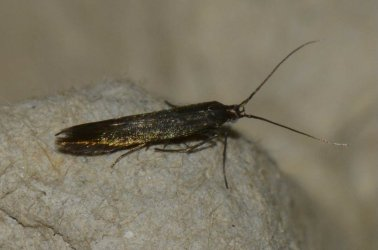 Coleophora sp West Hazel et Ron Saint-Sorlin de Conac 17 30062015 {JPEG}
