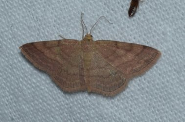 Scopula rubiginata West Hazel Saint-Ciers du Taillon 17 28082016 {JPEG}