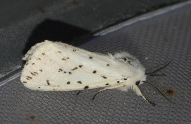 Spilosoma lubricipeda West Hazel et Ron La Clotte 17 11052015 {JPEG}
