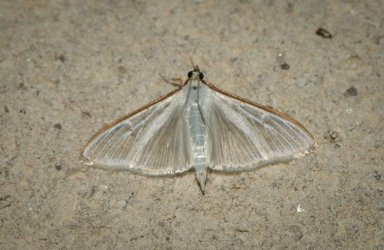 Palpita vitrealis Champarnaud Claude Rochefort 17 19072016 {JPEG}