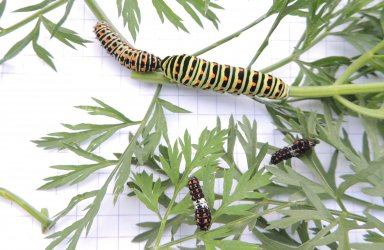 Papilio machaon Toussaint Michel Coulon 79 19102016 {JPEG}