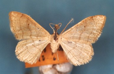Idaea straminata Collection Levesque Robert {JPEG}