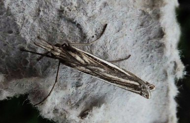 Ancylolomia sp Charles Genevieve Saint-Jean d-Angely 17 30082015 {JPEG}