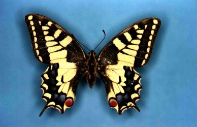 Papilio machaon Collection Levesque Robert {JPEG}
