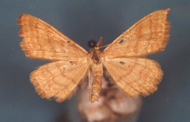 Idaea ochrata Collection Levesque Robert {JPEG}