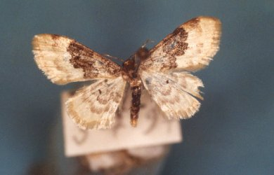 Idaea vulpinaria Collection Levesque Robert {JPEG}