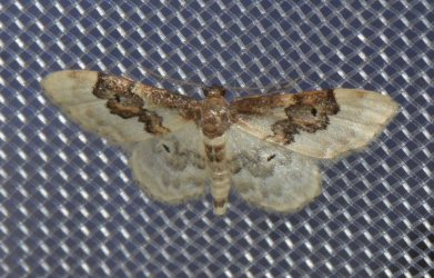 Idaea vulpinaria West Hazel et Ron La Clotte 17 28062015 {JPEG}