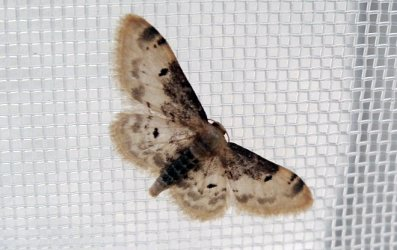 Idaea filicata Boucher David Sansais 79 16052019 {JPEG}