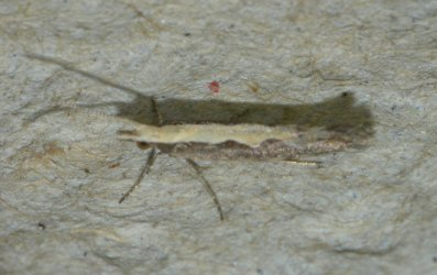 Plutella xylostella West Hazel et Ron La Clotte 17 20072015 {JPEG}