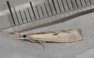 Agriphila inquinatella West Hazel et Ron Mortagne sur Gironde 17 20082014 {JPEG}