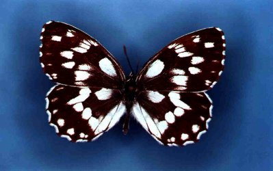 Melanargia galathea Collection Levesque Robert {JPEG}