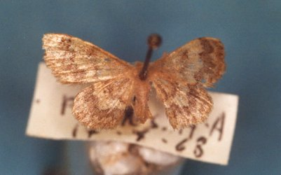 Idaea inquinata Collection Levesque Robert {JPEG}