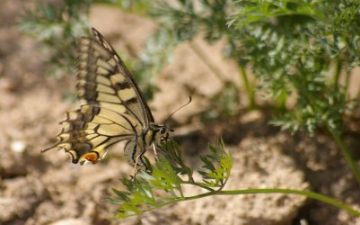 Papilio machaon Courtin Bernard Voultegon 79 21092010 {JPEG}