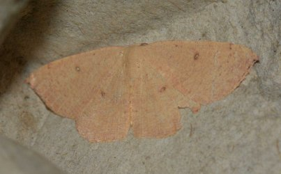 Cyclophora puppillaria West Hazel et Ron La Clotte 17 28062015 {JPEG}