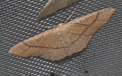 Cyclophora ruficiliaria West Hazel et Ron La Clotte 17 05062015 {JPEG}