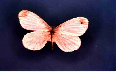 Papillon Leptidea sinapis Collection Levesque Robert {JPEG}