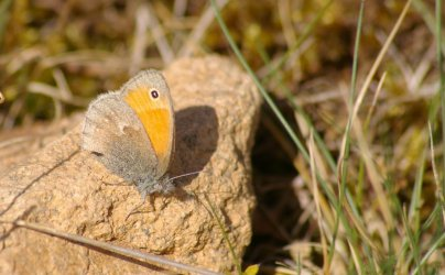 Coenonympha pamphilus Courtin Bernard Thouars 79 02052010 {JPEG}
