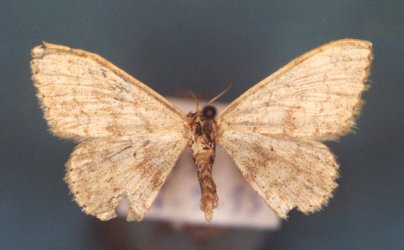Idaea laevigata Collection Levesque Robert {JPEG}