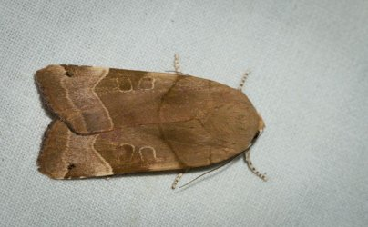 Noctua fimbriata Champarnaud Claude Rochefort 17 13072016 {JPEG}