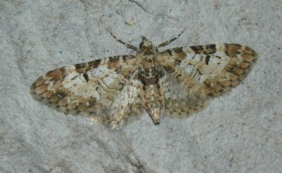 Eupithecia irriguata West Hazel La Clotte 17 02042016 {JPEG}
