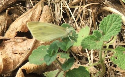 Pieris rapae Orsini Maria Sompt 79 27082009 {JPEG}