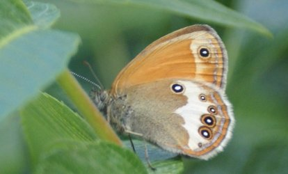 Coenonympha_arcania _Petidemange_Martial_Nancy_54_ 12062010 {JPEG}