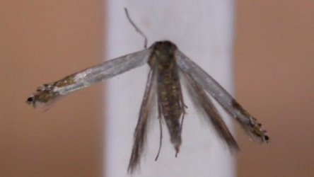 Lyonetia clerkella Lemoine Christian Secondigny 79 24072012 {JPEG}