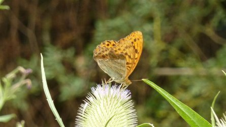 Argynnis paphia Meyer Daniel Coulonges-Thouarsais 79 28072010 {JPEG}