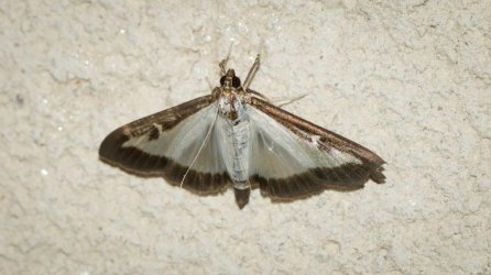 Diaphania perspectalis Champarnaud Claud Rochefort 17 20062016 {JPEG}