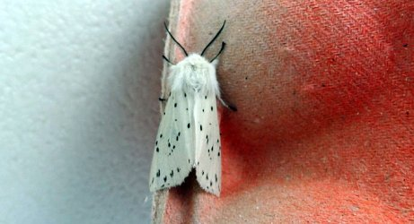 Spilosoma lubricipeda Boucher David Sansais 79 23052019 {JPEG}