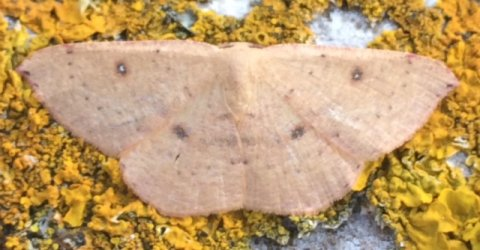 Cyclophora puppillaria Francis Julian Chillac 16 22092016 {JPEG}