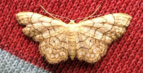 Idaea moniliata Francis Julian Chillac 16 07072017 {JPEG}